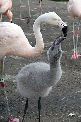 Chilean flamingo feeding its young Chilean Flamingo Feeding.jpg