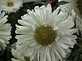 China Aster from Lalbagh flower show Aug 2013 8105.JPG