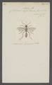 Chlorion - Print - Iconographia Zoologica - Special Collections University of Amsterdam - UBAINV0274 043 07 0016.tif