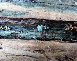 Tunbridge ware - 'Green Oak' as caused by the fungus Chlorociboria aeruginascens.