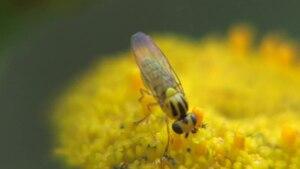 File:Chlorops spec on Tanacetum vulgare.ogv