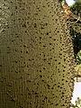 Chorisia insignis 002.jpg