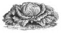 Chou Milan court hâtif Vilmorin-Andrieux 1883.png