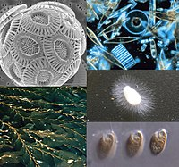 Chromista collage 2.jpg