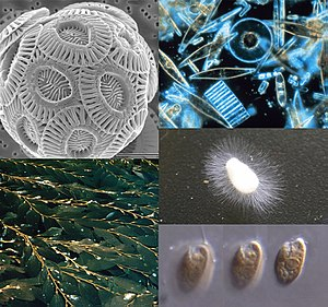 Clockwise from top-left: a haptophyte, some diatoms, a water mold, a cryptomonad, and Macrocystis, a phaeophyte