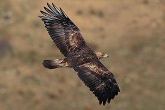 Oregon Badlands Wilderness - Golden eagle