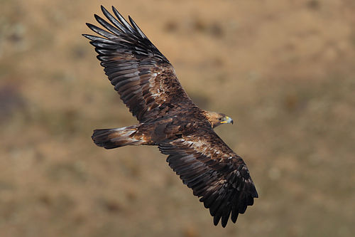 Golden Eagle (Aquila chrysaetos) - La Cañada, Ávila, Spain