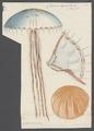 Chrysaora hysoscella - - Print - Iconographia Zoologica - Special Collections University of Amsterdam - UBAINV0274 110 07 0008.tif
