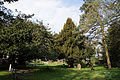 Church of St Mary and St Christopher, Panfield - churchyard yew.jpg