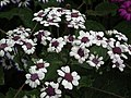 Cineraria from Lalbagh flower show Aug 2013 8222.JPG