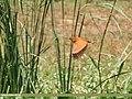Cinnamon Bittern (Ixobrychus cinnamomeus) (44757442280).jpg