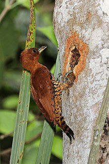 Cinnamon woodpecker (Celeus loricatus mentalis) female making hole in tree.jpg