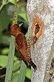 Cinnamon woodpecker (Celeus loricatus mentalis) female making hole in tree.jpg
