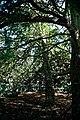 City of London Cemetery inside yew copse 1.jpg