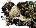 Cladonia pyxidata-6.jpg