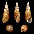 Clavator obtusatus 01.JPG