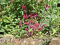Clematis Gravetye Beauty - Flickr - peganum.jpg