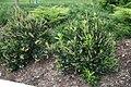 Clethra alnifolia Sixteen Candles 3zz.jpg
