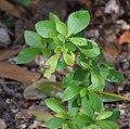 Clethra alnifolia in Christchurch Botanic Gardens 02.jpg