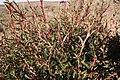 Cliffortia acutifolia Helme 3.jpg