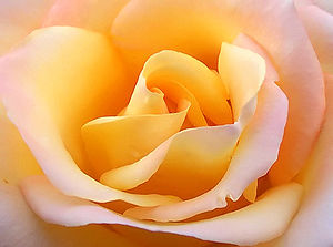 Close up yellow rose edit2