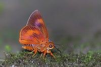 Close wing position of Burara oedipodea Swainson, 1820 – Branded Orange Awlet Q 7219.jpg