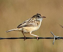 Cloud Cisticola 2012 04 25.jpg