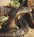Cobra-chata.jpg