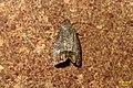 Codling moth (BG) (37320418255).jpg