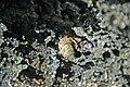 Coenobita clypeatus terrestrial hermit crab in Cerion watlingense snail shell (San Salvador Island, Bahamas) 3 (16030457102).jpg