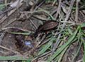 Coleoptera 001 cutted.JPG