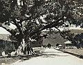 Collectie Nationaal Museum van Wereldculturen TM-60061945 De grootste katoenboom van Jamaica Jamaica fotograaf niet bekend.jpg