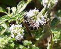 Colpa quinquecincta. Scoliidae (24018970844).jpg