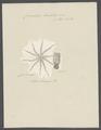 Comatula barbata - - Print - Iconographia Zoologica - Special Collections University of Amsterdam - UBAINV0274 108 19 0005.tif