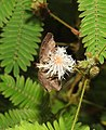 Common Small Flat Sarangesa dasahara by Dr. Raju Kasambe DSCN7727 (1).jpg