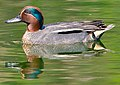 Common Teal Male (8602525826) (cropped).jpg