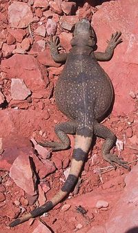 Common chuckwalla.jpg