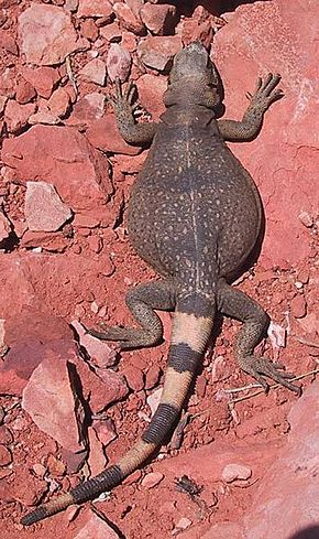 alt=Description de l'image Common chuckwalla.jpg.