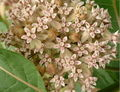 Common milkweed-tracy.jpg