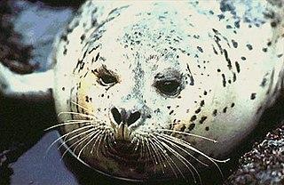 <i>Phoca</i> genus of mammals