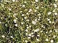 Common starwort in july.jpg