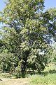 Conjoined oak and linden in Voronezh Biosphere Reserve.jpg