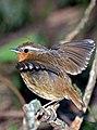 Conopophaga lineata -Parque Estadual Turistico da Cantareira, Sao Paulo, Brasil-8 (1) Cropped.jpg