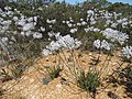 Conospermum crassinervium (39920325362).jpg