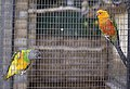 Conservatory parrots, Hull - geograph.org.uk - 1880008.jpg