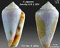 Conus algoensis 1.jpg