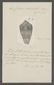 Conus praelatus - - Print - Iconographia Zoologica - Special Collections University of Amsterdam - UBAINV0274 085 10 0099.tif