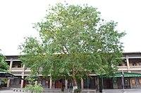 Convent School's Pippal - Convent School Rawalpindi.jpg