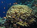 Coral with goldies (6158487439).jpg