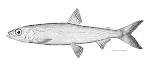 Coregonus hoyi - Illustration from The Natural History of Useful Aquatic Animals